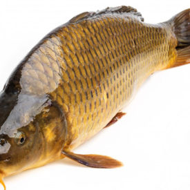 Precious drug from Carp in traditional medicine