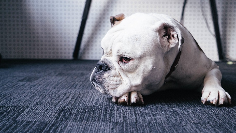 bulldog-4-year-old-has-been-very-reluctant-to-play-with-his-toys-220